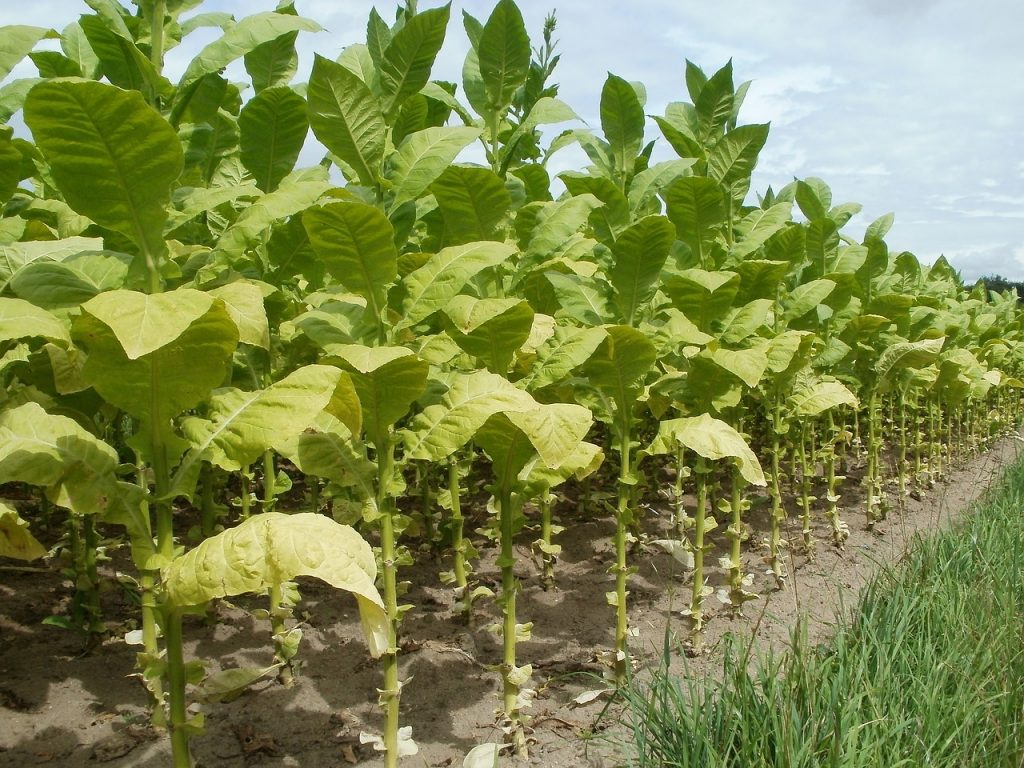 tobacco plant growing in Cuba