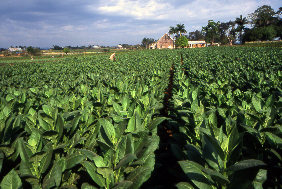 A tobacco plantation for Cuban cigars